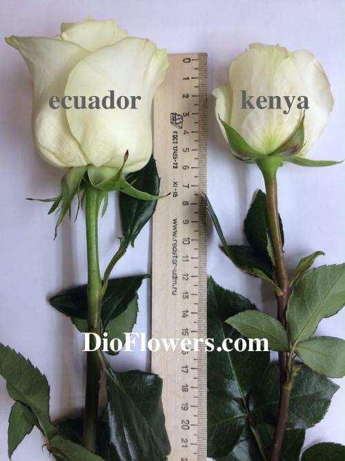DioFlowers_ecuador_kenia