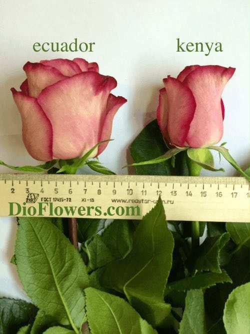 Роза Кения оптом