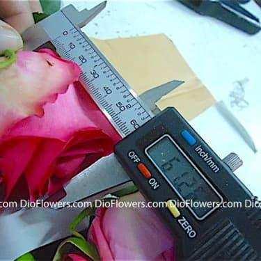 dioflowers розы оптом из эквадора и голландии прямые поставки