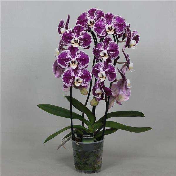 Орхидеи Фаленопсис оптом