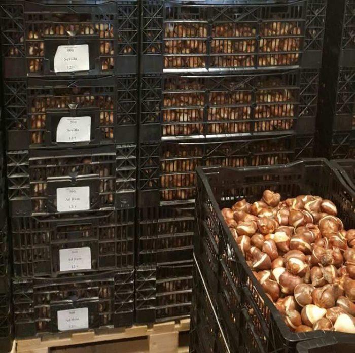 Луковицы оптом из Голландии