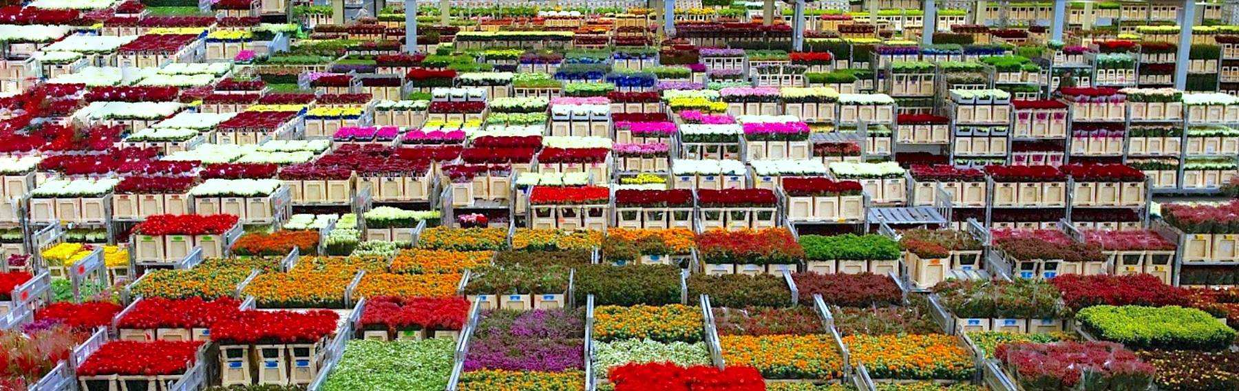Голландия продажа цветы оптом
