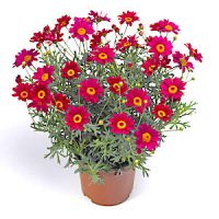 Аргирантемум (Argyranthemum)