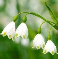 Белоцветник (Leucojum aestivum)