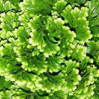 Плаунок (Selaginella)