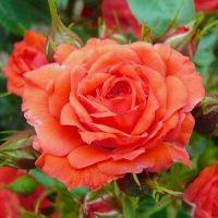 Роза (Rosa)