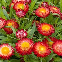 Цмин (Helichrysum)