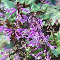 Шпороцветник (Plectrantus)