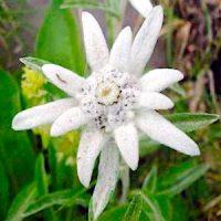 Эдельвейс (Leontopodium)