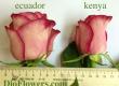 розы Эквадора