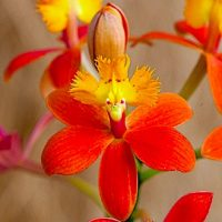 Эпидендрум (Epidendrum)