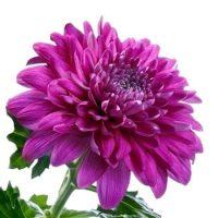 Срезанные цветы оптом из Голландии
