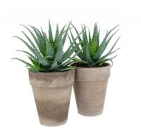 Алое (Aloe)
