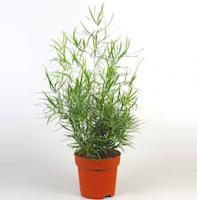 Аспарагус (Asparagus)