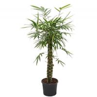 Бамбук (Bambusa)