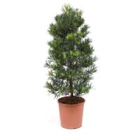 Подокарп (Podocarpus)