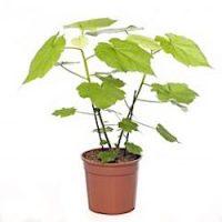 Спармания (Sparmannia)