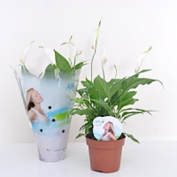 Спатифиллюм (Spathiphyllum)