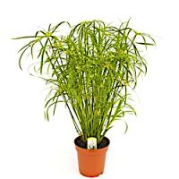 Сыть (Cyperus)