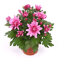 Хризантема (Chrysanthemum)