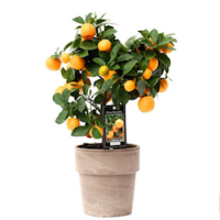 Цитрус (Citrus)