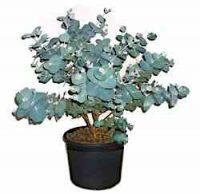 Эвкалипт (Eucalyptus)