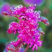 Верония (Vernonia)