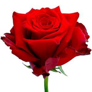 Роза оптом из Эквадора