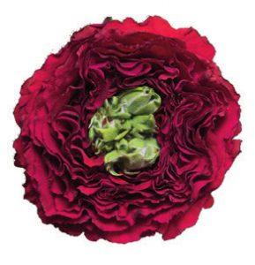Пионовидная роза оптом Кения